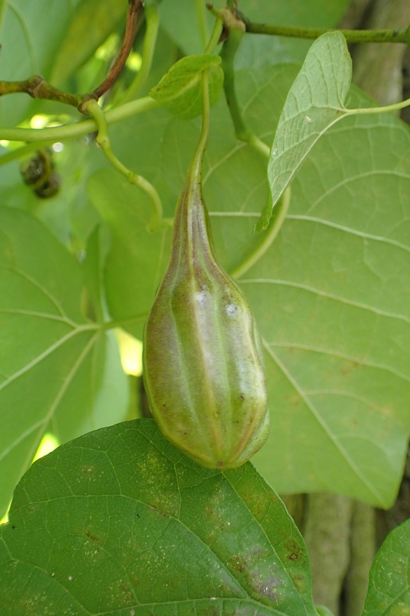 Pipevine fruit