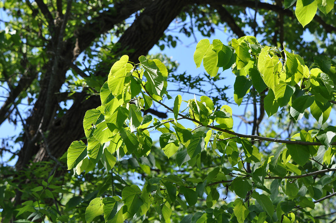 American Linden leaves