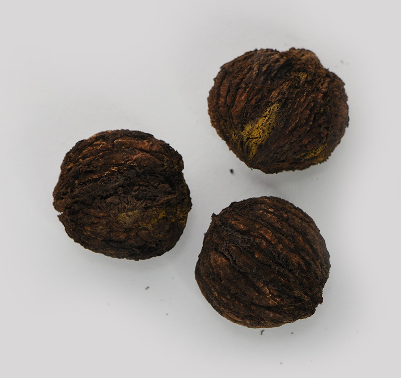 Black Walnut nuts