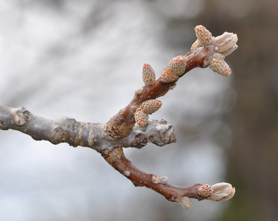 Black Walnut Winter buds