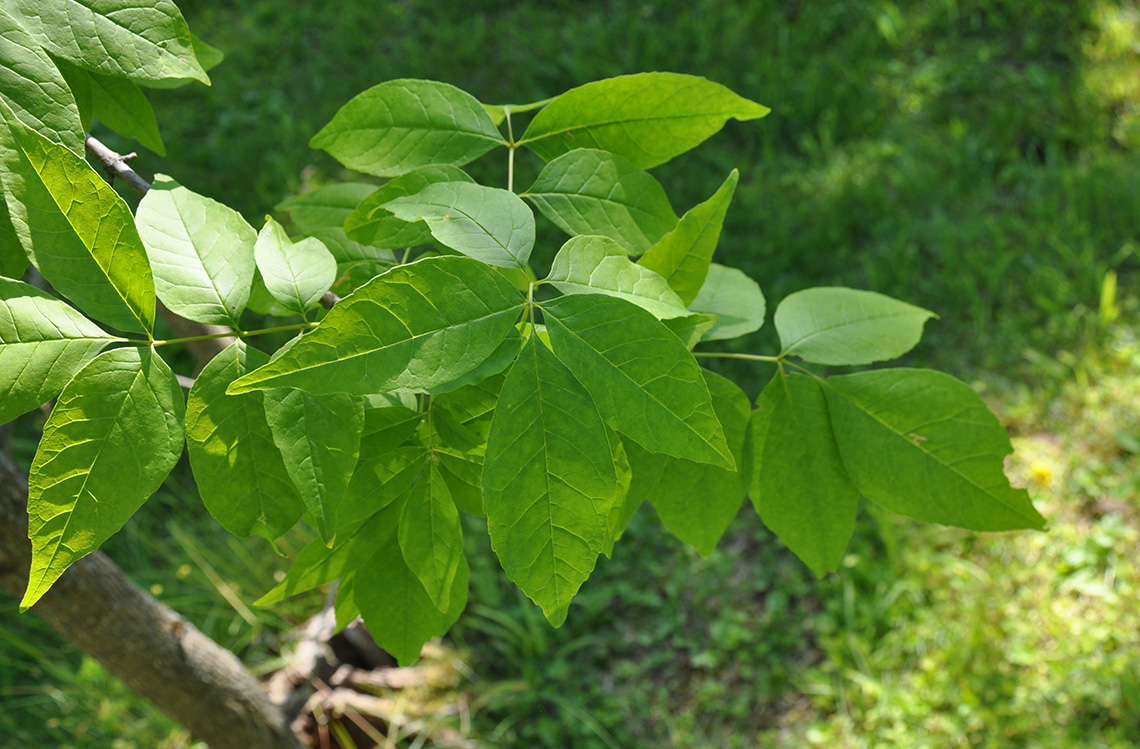 Green Ash leaves