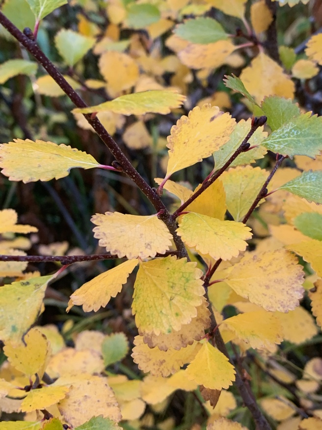 dwarf birch fall leaves